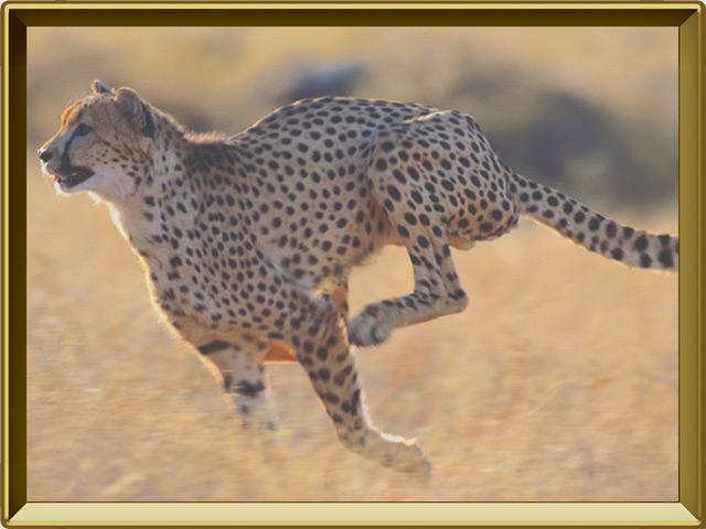 Гепард — зверь, фото в рамке №3