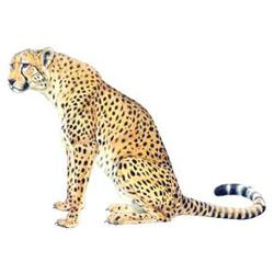 Гепард — зверь, картинка цветная