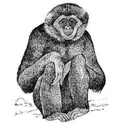 Гиббон — зверь, картинка чёрно-белая
