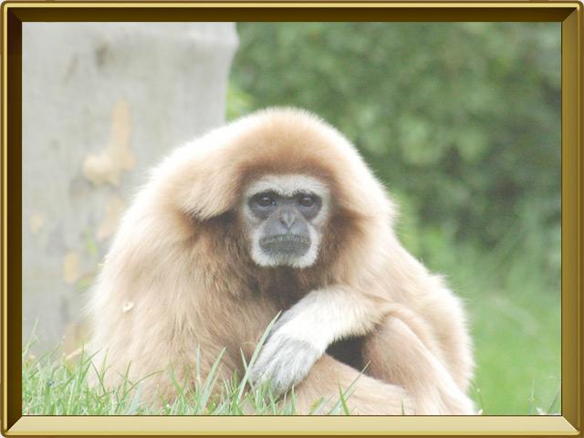 Гиббон — зверь, фото в рамке №2