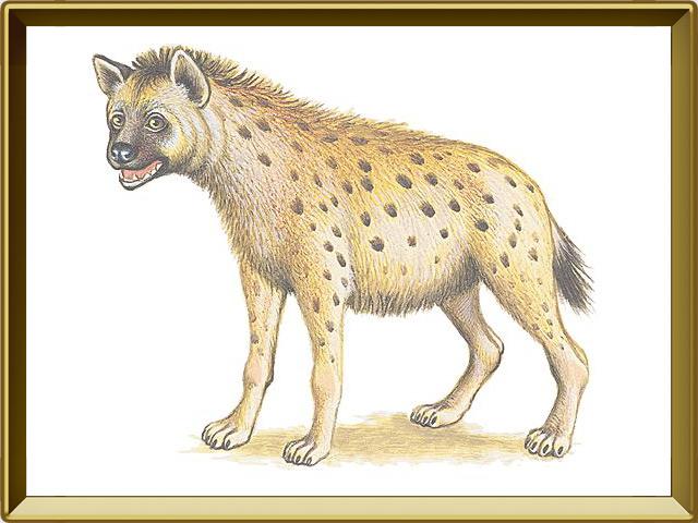 Гиена — зверь, фото в рамке №1