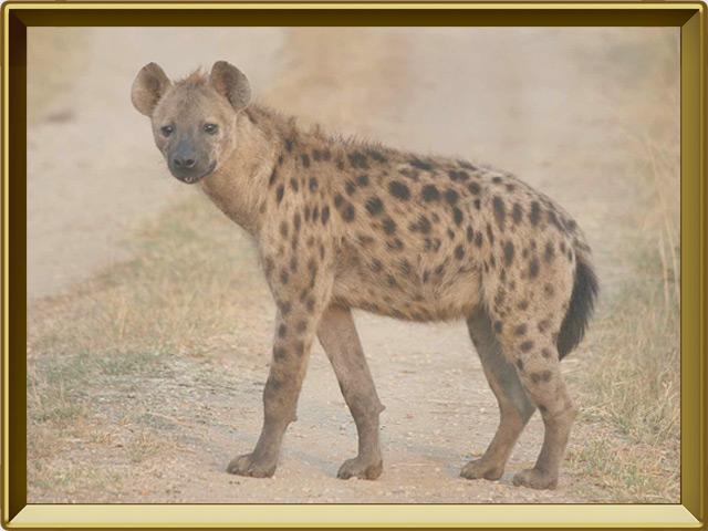 Гиена — зверь, фото в рамке №2