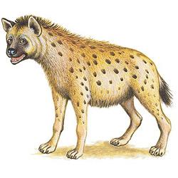 Гиена — зверь, картинка цветная