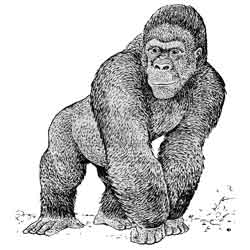 Горилла — зверь, картинка чёрно-белая