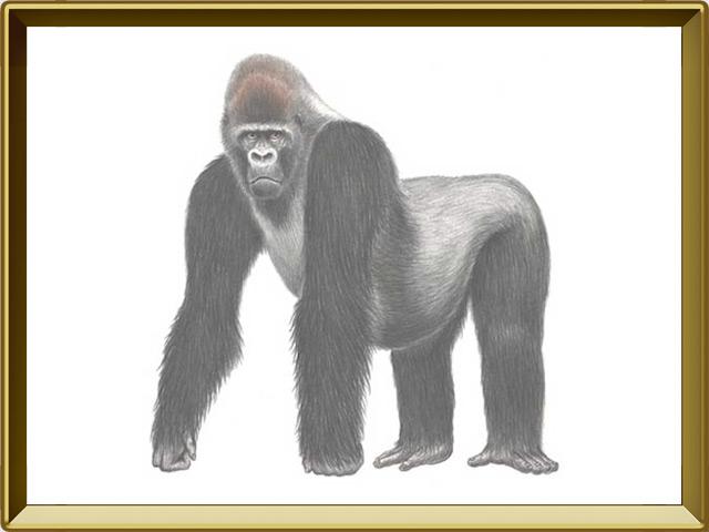 Горилла — зверь, фото в рамке №1