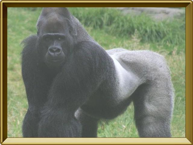 Горилла — зверь, фото в рамке №2