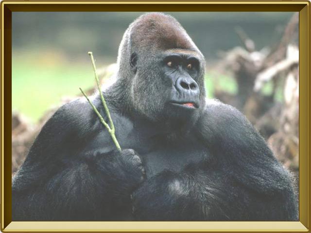 Горилла — зверь, фото в рамке №3