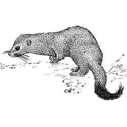 Горностай — зверь, картинка чёрно-белая