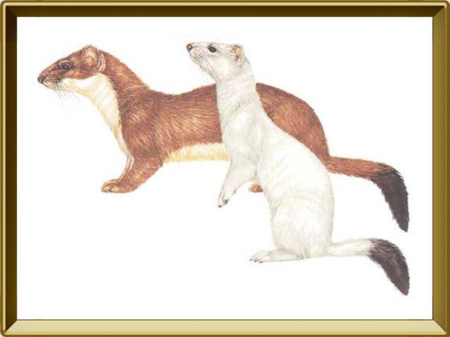 Горностай — зверь, фото в рамке №1