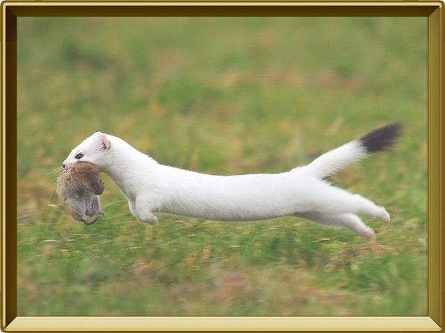 Горностай — зверь, фото в рамке №3
