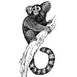 Игрунка — зверь, картинка чёрно-белая