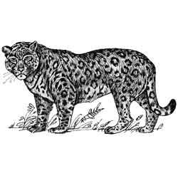 Ягуар — зверь, картинка чёрно-белая