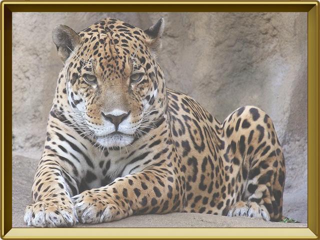 Ягуар — зверь, фото в рамке №2