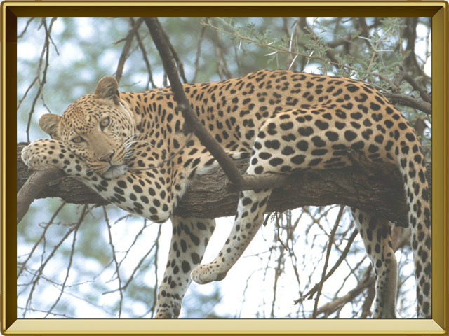 Ягуар — зверь, фото в рамке №3