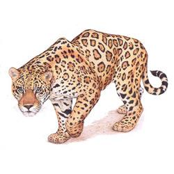 Ягуар — зверь, картинка цветная