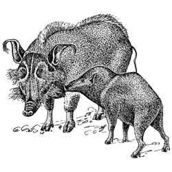 Кабан — зверь, картинка чёрно-белая