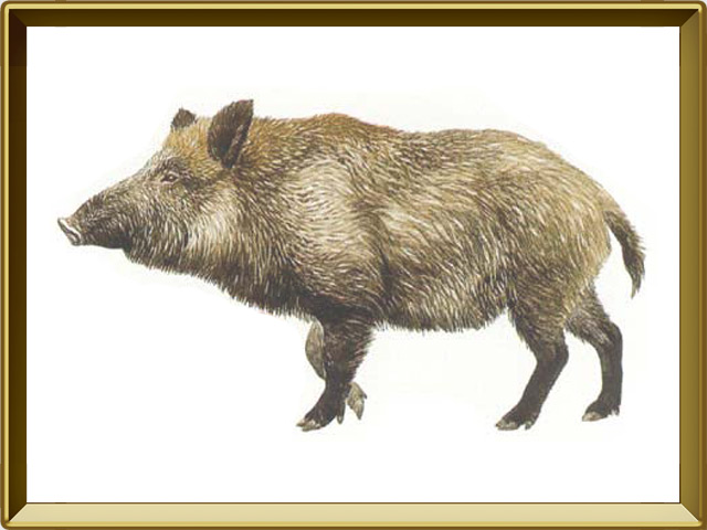 Кабан — зверь, фото в рамке №1