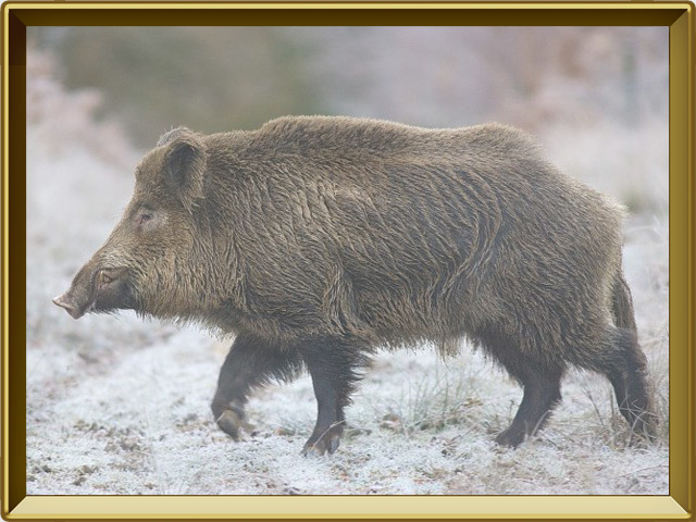 Кабан — зверь, фото в рамке №2