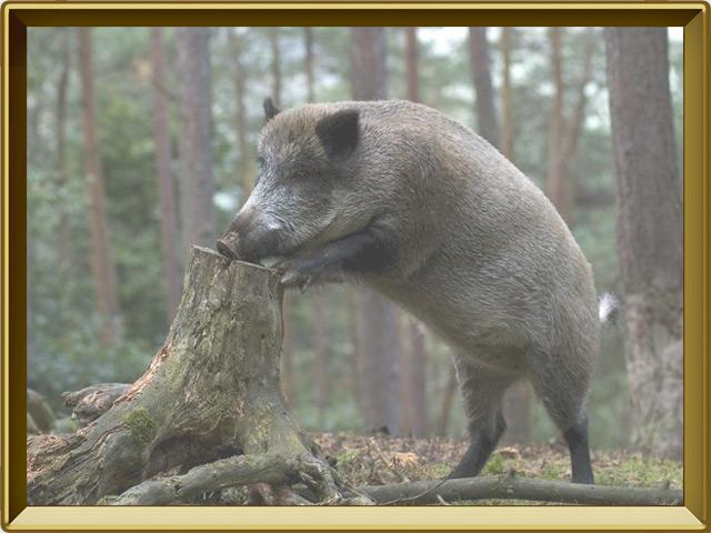 Кабан — зверь, фото в рамке №3