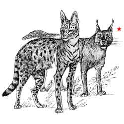 Каракал — зверь, картинка чёрно-белая