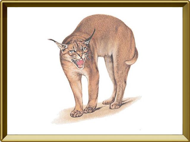 Каракал — зверь, фото в рамке №1