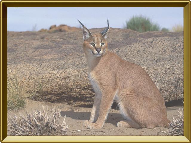 Каракал — зверь, фото в рамке №2
