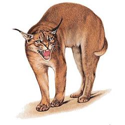 Каракал — зверь, картинка цветная