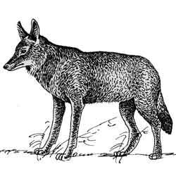 Койот — зверь, картинка чёрно-белая