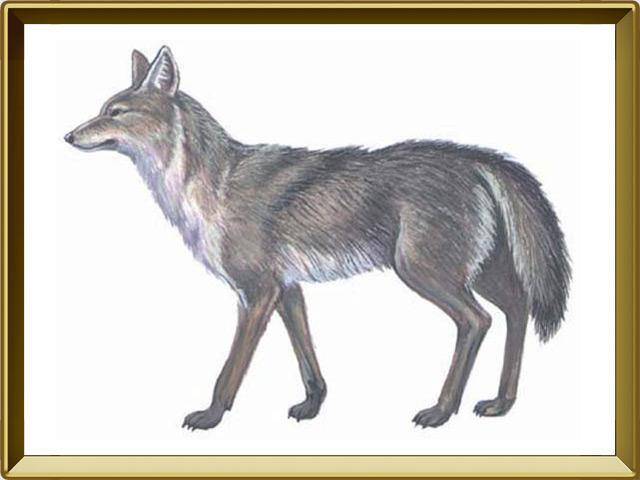 Койот — зверь, фото в рамке №1