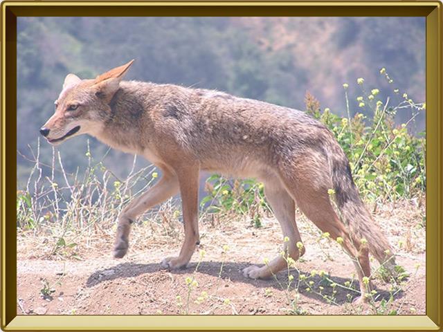 Койот — зверь, фото в рамке №3