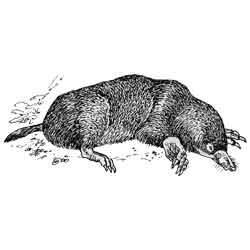 Крот — зверь, картинка чёрно-белая