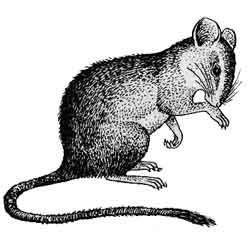 Крыса — зверь, картинка чёрно-белая