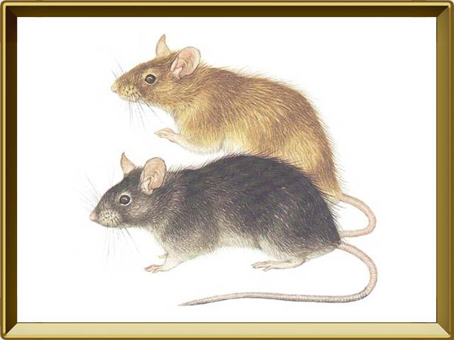 Крыса — зверь, фото в рамке №1