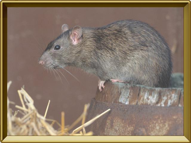 Крыса — зверь, фото в рамке №2