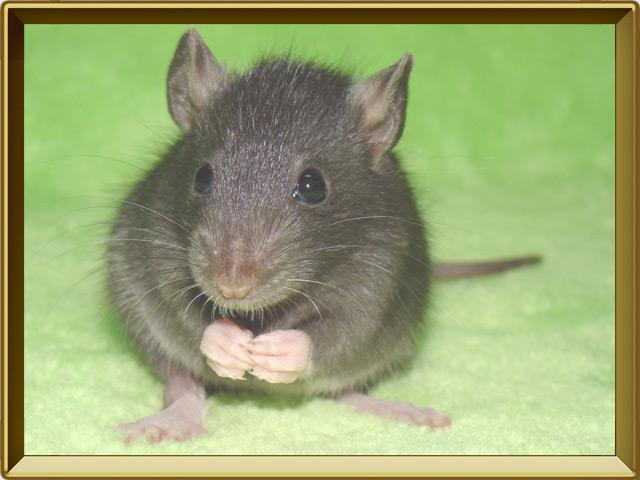 Крыса — зверь, фото в рамке №3