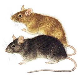 Крыса — зверь, картинка цветная