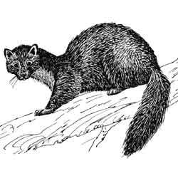 Куница — зверь, картинка чёрно-белая