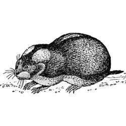 Лемминг — зверь, картинка чёрно-белая