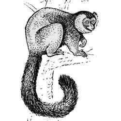 Лемур — зверь, картинка чёрно-белая