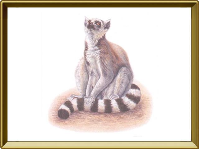 Лемур — зверь, фото в рамке №1