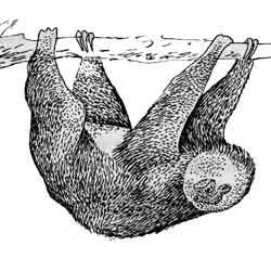 Ленивец — зверь, картинка чёрно-белая