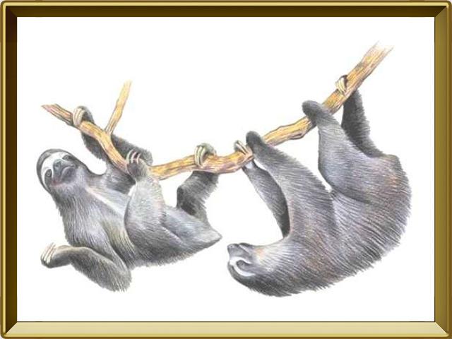 Ленивец — зверь, фото в рамке №1