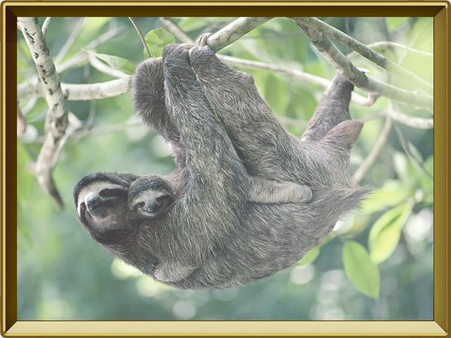 Ленивец — зверь, фото в рамке №2