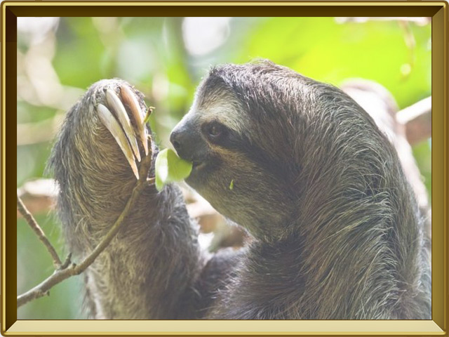 Ленивец — зверь, фото в рамке №3