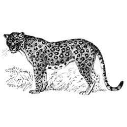Леопард — зверь, картинка чёрно-белая