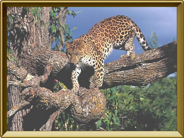 Леопард — зверь, фото в рамке №2