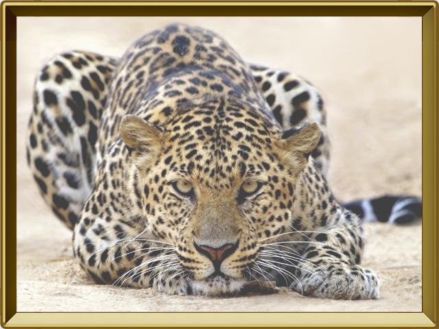 Леопард — зверь, фото в рамке №3