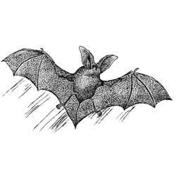 Летучая мышь — зверь, картинка чёрно-белая