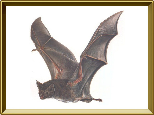 Летучая мышь — зверь, фото в рамке №1