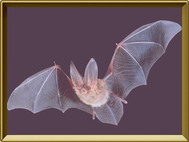 Летучая мышь — зверь, фото в рамке №2